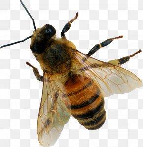 Bee Bee - Bee PNG