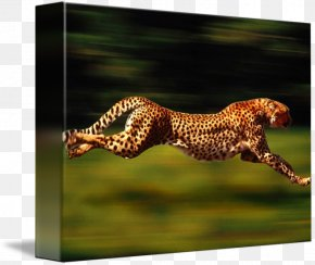 Cheetah - Cheetah Leopard Felidae Cat Animal PNG