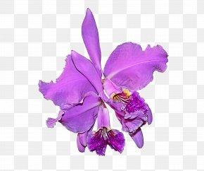 Orchid Cut Flowers - Flower Violet Cattleya Labiata Purple Plant PNG