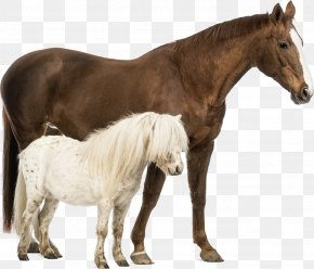 Horses - Shetland Pony Belgian Horse Welsh Pony And Cob Stock Photography PNG