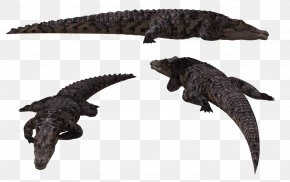 Alligator - Alligator Crocodiles Animal PNG