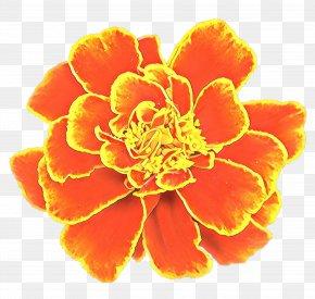 Pot Marigold Flower Clip Art Image Carnation PNG