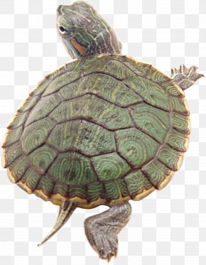 Turtle - Amboina Box Turtle Reptile Pond Slider Golden Coin Turtle PNG