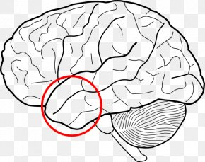 Brain - Outline Of The Human Brain Human Body Clip Art PNG