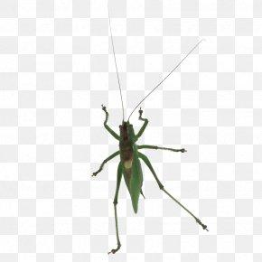 Grasshopper - Pterygota Grasshopper Cricket Invertebrate Pest PNG