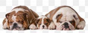 Three Cute Puppy Picture Material - Bulldog Alaskan Malamute Puppy Cuteness PNG