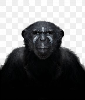 Chimpanzee - Common Chimpanzee Western Gorilla Primate Monkey In The Wild PNG