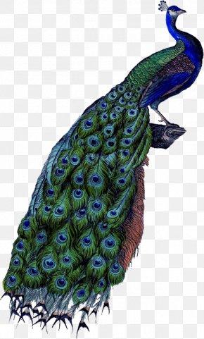 Peacock - Coton De Tulear Peafowl Feather Clip Art PNG