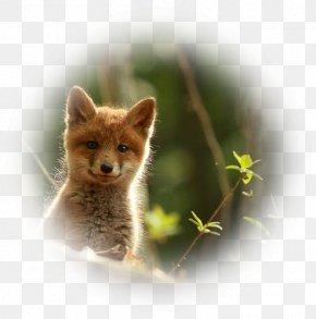 Fox - Red Fox Kit Fox Wildlife Animal PNG