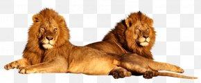 Lion - Lion Felidae Serengeti Hippopotamus Wildlife PNG