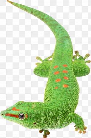 Lizard - Lizard Papua New Guinea PNG