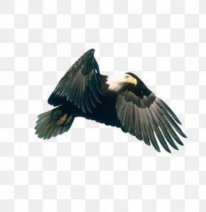 Eagle - Eagle Hawk Download PNG