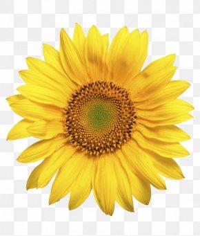 Flower - Common Sunflower Sunflower Seed Daisy Family Sunflower Oil PNG