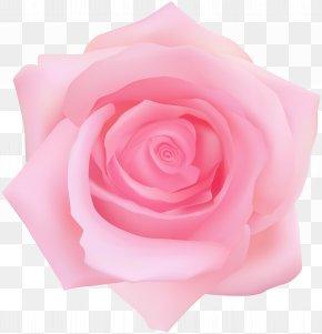Pink Rose Transparent Clip Art - Garden Roses Centifolia Roses Clip Art PNG