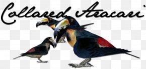 Bird - Collared Aracari Bird Animal Leopard Beak PNG