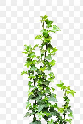 Ivy - Ivy Vine Plant Clip Art PNG