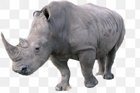 Rhino - Javan Rhinoceros Northern White Rhinoceros Southern White Rhinoceros Indian Rhinoceros PNG