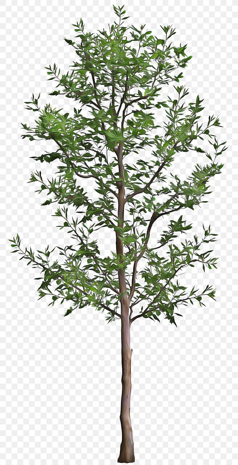 Tree Plant Flower Branch Woody Plant, PNG, 767x1600px, Tree, American Larch, Branch, Flower, Flowering Plant Download Free
