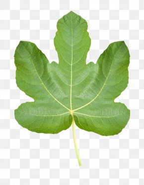 Realistic Fig Leaves - Common Fig Ficus Pumila Fig Leaf Stock Photography PNG