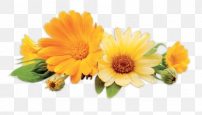 Calendula - Stock Photography Royalty-free PNG