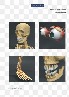 Skeleton - Human Anatomy Homo Sapiens Human Body Skeleton PNG