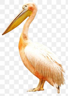 White Crane - Bird Pelican Clip Art PNG