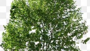 Tree - Tree PNG