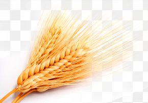 Golden Wheat Wheat Wheat - Whole Grain Grasses Cereal PNG