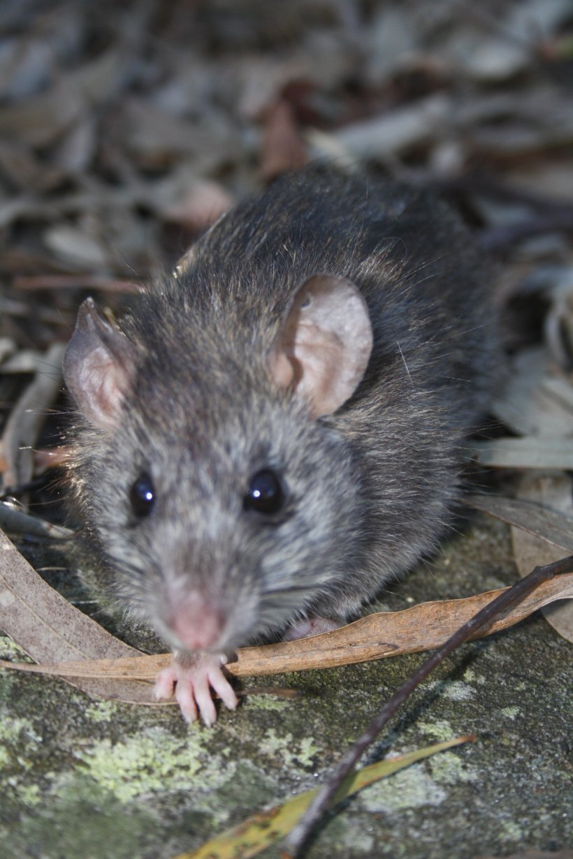 Brown Rat Murids Mouse Rodent Black Rat, PNG, 2592x3888px, Brown Rat, Animal, Black Rat, Bush Rat, Dormouse Download Free