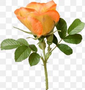 Yellow Rose - Garden Roses Cabbage Rose Cut Flowers Petal PNG