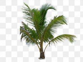 Tree - Arecaceae Mexican Fan Palm Tree Coconut Babassu PNG