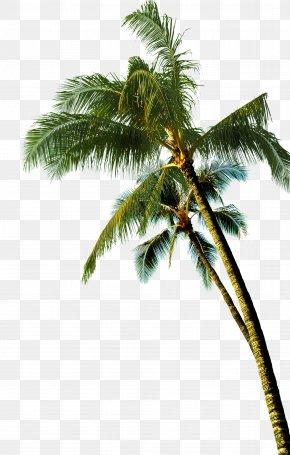 Coconut Tree - Coconut Asian Palmyra Palm Tree PNG
