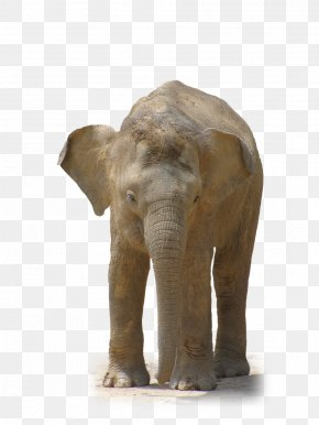 Huge Elephant - African Forest Elephant Indian Elephant Clip Art PNG