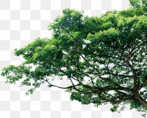 Tree - Branch Tree Pine Template PNG