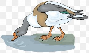 Vector Water Duck Material - Goose Drinking Water Clip Art PNG