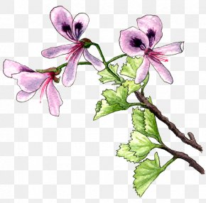 Pelargonium - Plant Flower Violet Lilac Pollinator PNG