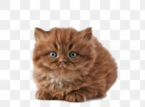 Free Meow Star People To Pull Creative Picture - British Longhair British Shorthair Persian Cat Savannah Cat Norwegian Forest Cat PNG