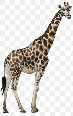 Animal Wildlife Cliparts - Reticulated Giraffe Okapi Stock Photography Stock.xchng Royalty-free PNG