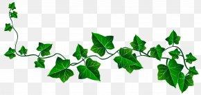 Ivy Cliparts - Ivy Vine Clip Art PNG