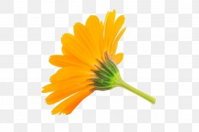 Marigold Free Picture Pull - Calendula Officinalis Flower Stock Photography Royalty-free PNG