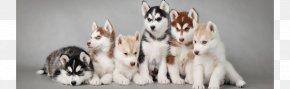 Husky SiBERIAN - Siberian Husky Puppy Alaskan Husky Alaskan Malamute PNG