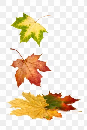 Autumn Maple Leaf - Stock Photography Royalty-free Maple Leaf PNG
