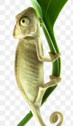 Crawling Chameleon - Chameleons Stock Photography Download PNG