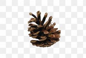 Pine Cone - Conifer Cone Wallpaper PNG