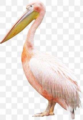 Flamingo - Bird Pelican Crane PNG