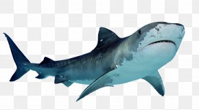 Shark Free Download - Great White Shark PNG