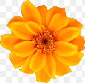 Chrysanthemum - Calendula Officinalis Flower Drawing Dahlia Orange PNG