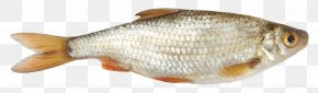 Fish - Fish As Food Common Roach Seafood Vobla PNG