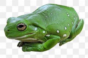 Frog - Australian Green Tree Frog Amphibian Edible Frog PNG
