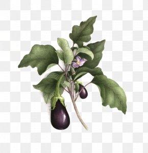 Purple Eggplant - Botanical Illustration Botany Watercolor Painting Drawing Illustration PNG